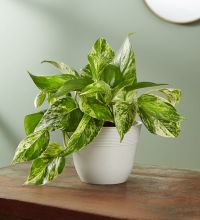Marble Queen Pothos Plant, Shelf Size Plant (Small)