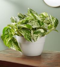 Marble Queen Pothos Plant ,Table Size Plant (Medium)