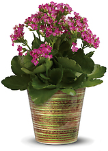 Simply Happy Kalanchoe Plant